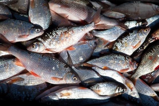 какую рыбу запрещено ловить в коми